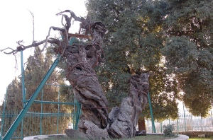 Oak_of_Mamre_1